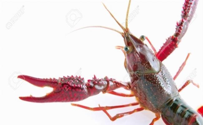 Trong khi đó, tôm càng đỏ xuất xứ từ Australia, vỏ màu xanh rêu điểm vạch đỏ ở càng, lưng, kích thước và trọng lượng của tôm càng đỏ lớn gấp 10 lần tôm hùm đất, con đực trưởng thành có thể nặng tới nửa cân.