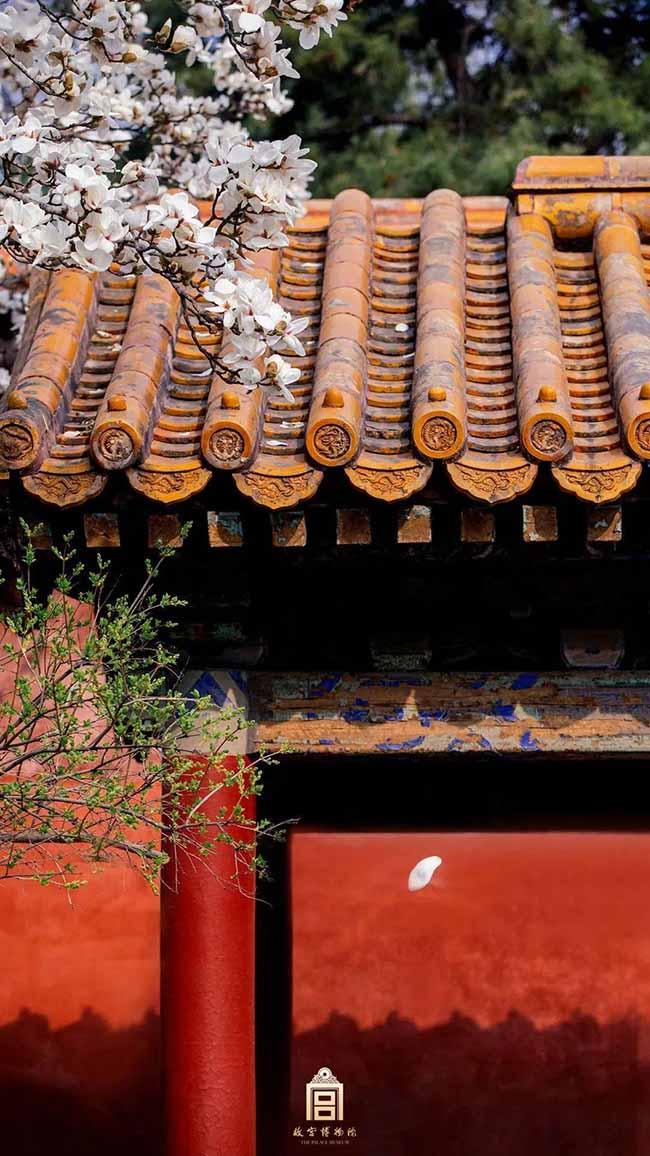 1. Hoa mộc lan là loài hoa nở sớm nhất trong Tử Cấm Thành, Trung Quốc. Nó cũng là loài hoa được trồng nhiều nhất tại đây.