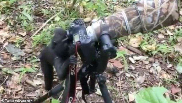 Video: Khỉ trổ tài làm động tác chụp ảnh như người gây sốt - 1