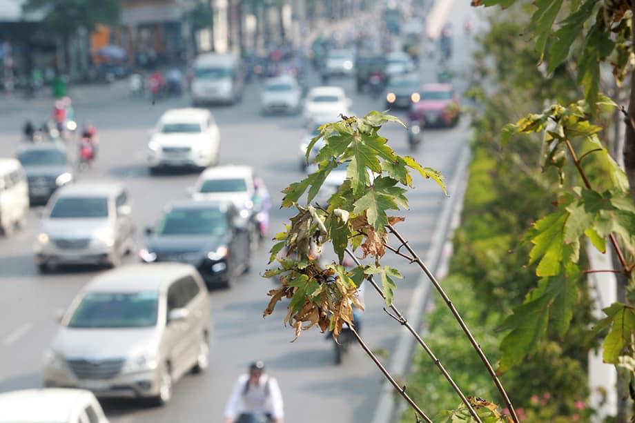 Phong lá đỏ trồng 3 năm không đỏ lá, Hà Nội thay thế toàn bộ bằng loại cây mới - 1