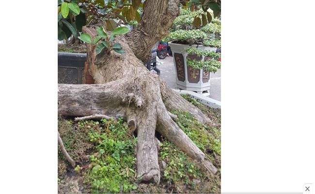 Những loại cây cảnh với đủ hình thù kỳ dị luôn thu hút người xem bởi tuổi đời cao, được nghệ nhân hoặc chủ nhân của chúng chăm chút, trở nên độc đáo và có giá trị kinh tế cao.