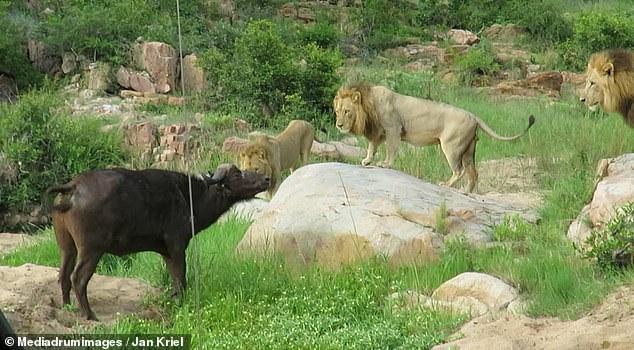 Video: Đuổi sư tử bỏ chạy, trâu rừng gặp thêm 2 con khác, kết cục ra sao? - 1