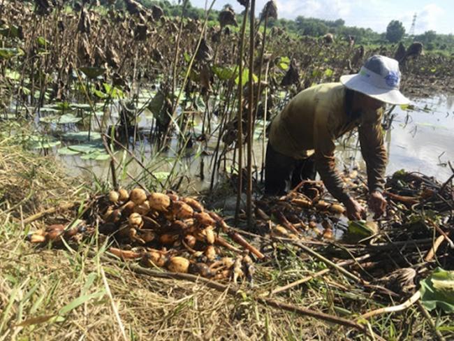 Trồng sen cho củ chỉ từ 4 - 5 tháng là được thu hoạch, nếu được mùa và không bị sâu bệnh phá hoại sẽ cho hiệu quả kinh tế cao. Thậm chí ở Hàn Quốc củ sen còn được ví như nhân sâm.