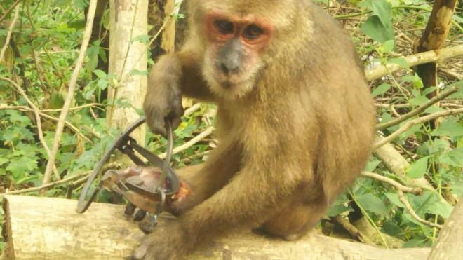 Chú khỉ đau đớn 'bỏ lại bàn chân' trên chiếc bẫy sắt - 1