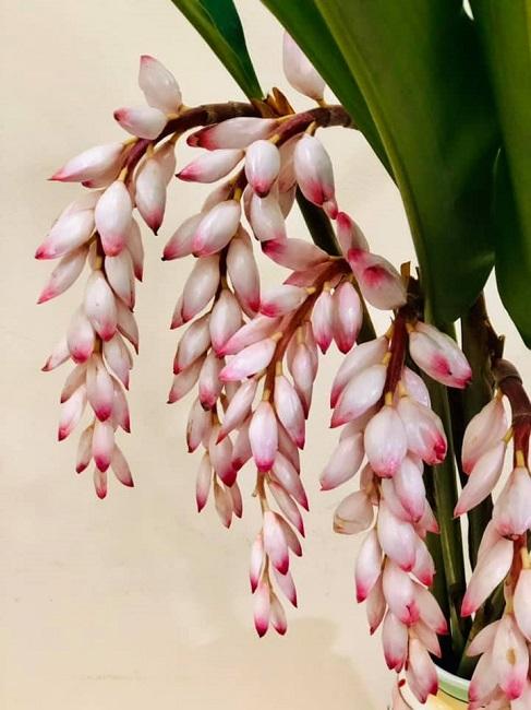 Bất ngờ loại hoa lan hệt như bông lúa được lùng mua, dân buôn bán cả nghìn cành - 1