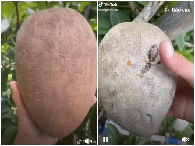 """Bổ quả hồng xiêm """"siêu to khổng lồ"""" trồng trong vườn, phần ruột khiến tất cả ngạc nhiên - 1"""