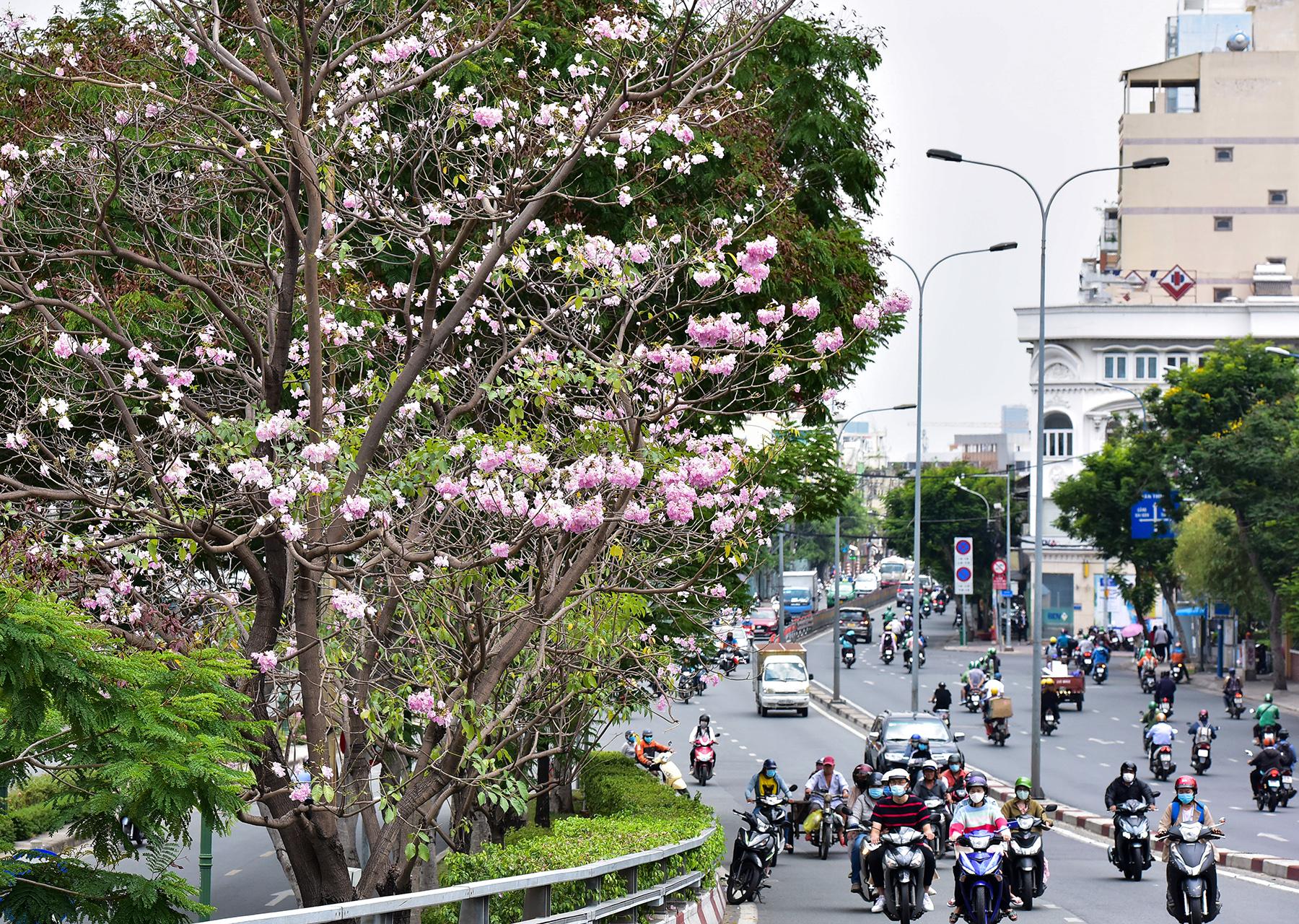 """Hoa kèn hồng nở rộ giữa Sài Gòn, đẹp """"đốn tim"""" người đi đường - 15"""