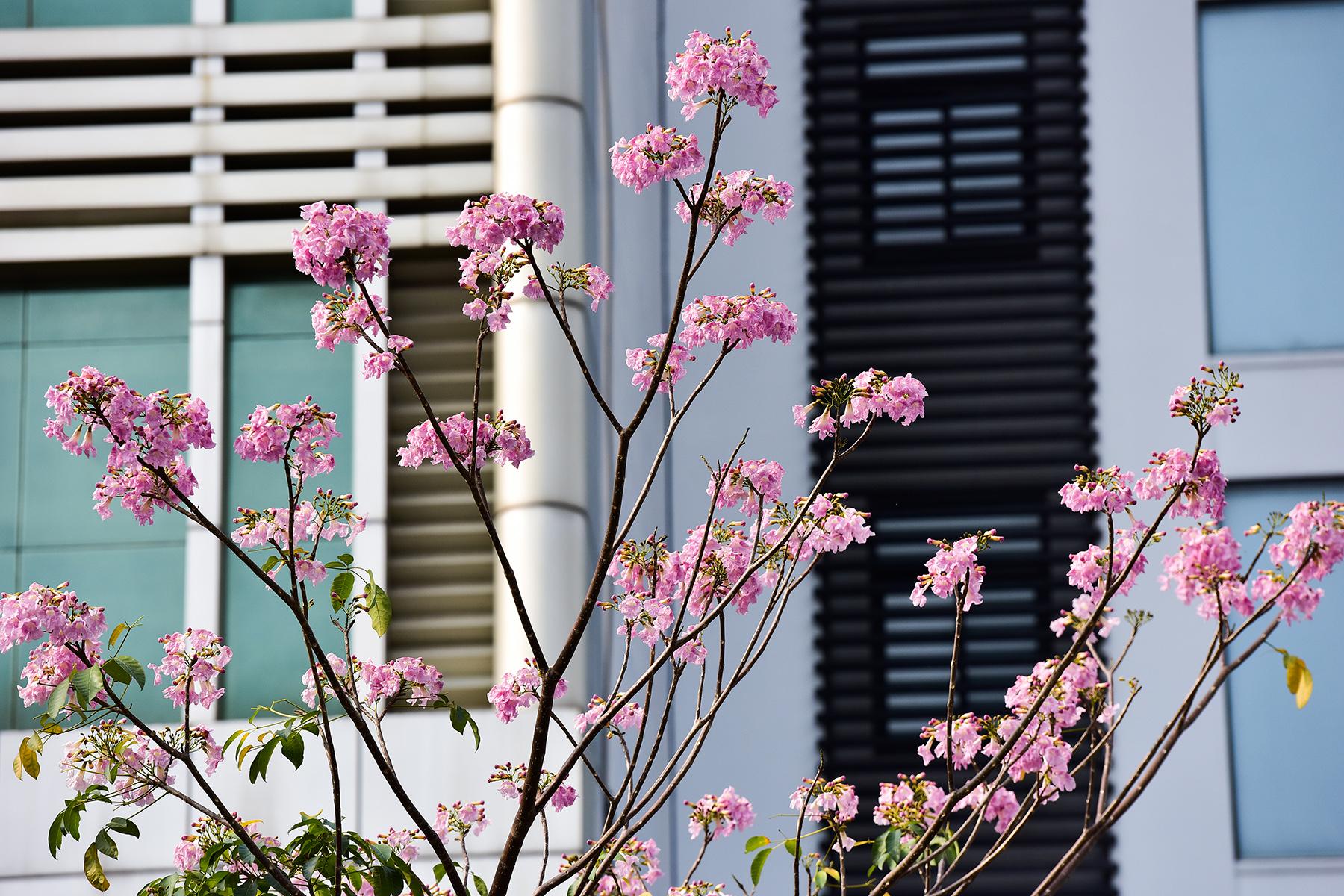 """Hoa kèn hồng nở rộ giữa Sài Gòn, đẹp """"đốn tim"""" người đi đường - 16"""