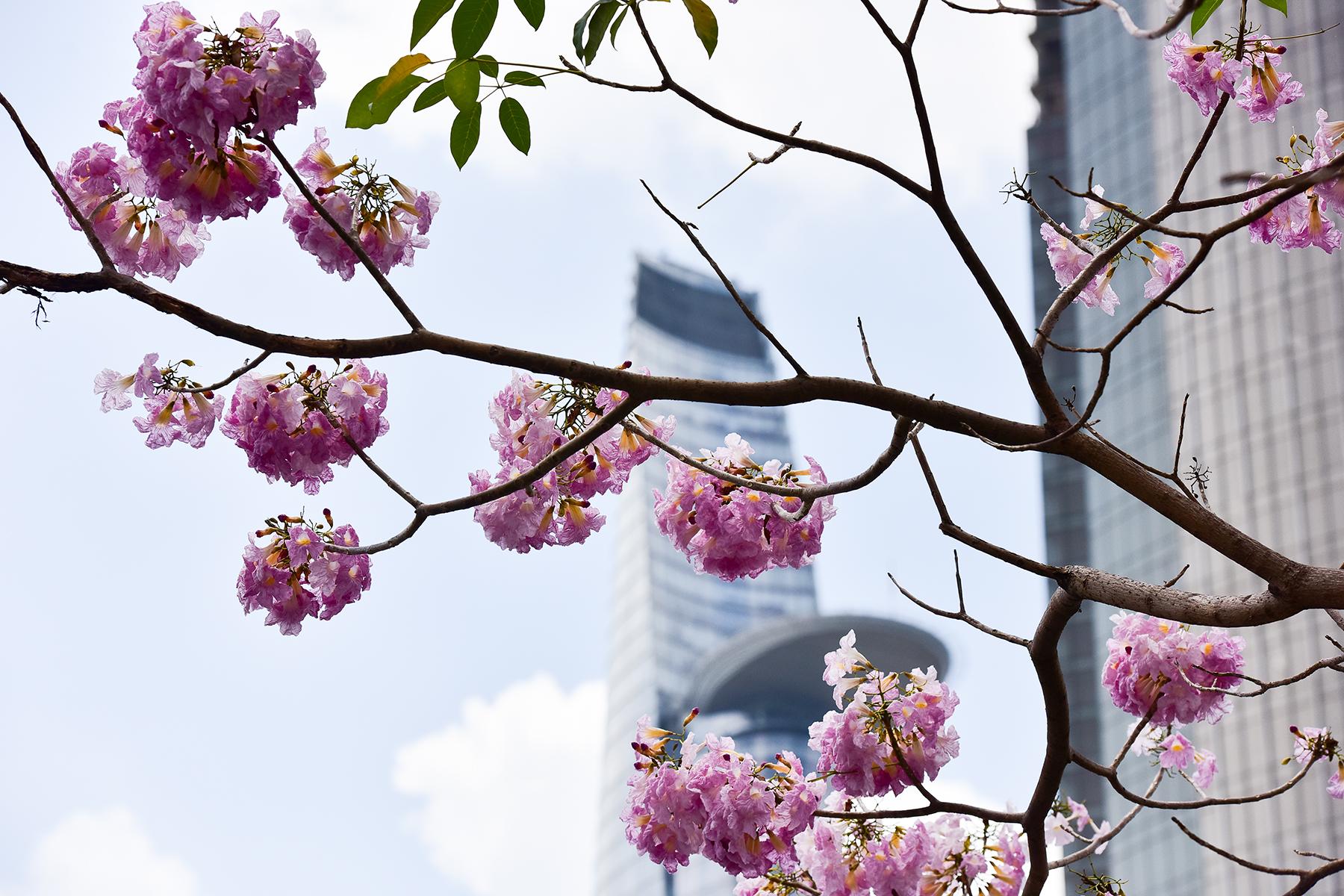 """Hoa kèn hồng nở rộ giữa Sài Gòn, đẹp """"đốn tim"""" người đi đường - 17"""
