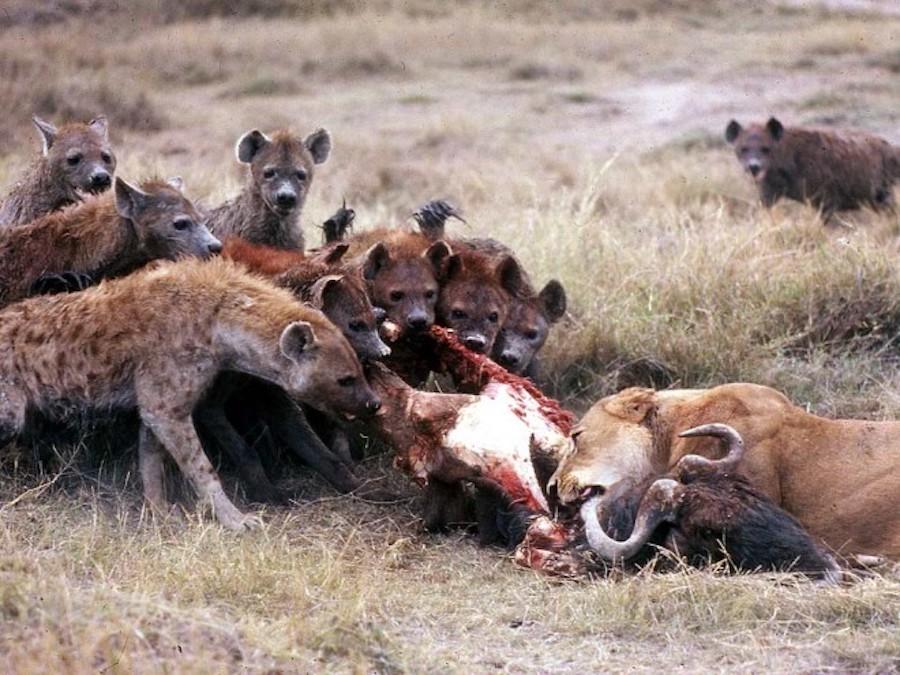 Vì sao linh cẩu giết sư tử? - 3