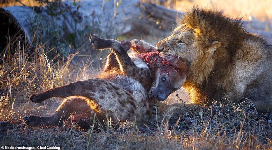 Vì sao linh cẩu giết sư tử? - 4