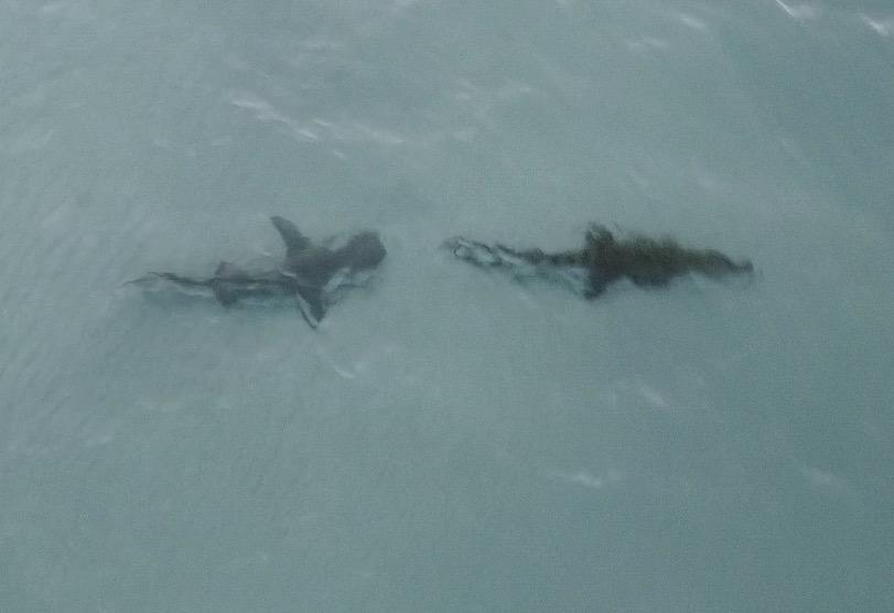 Video: Phát hiện cá mập hổ đang âm thầm bám đuôi, cá sấu sợ hãi tìm đường tầu thoát - 1
