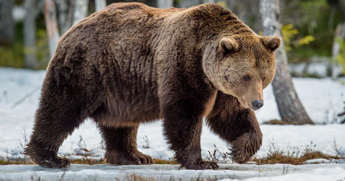 Hổ Siberia đấu gấu xám Bắc Mỹ: Con nào có thể ăn thịt con nào? - 3