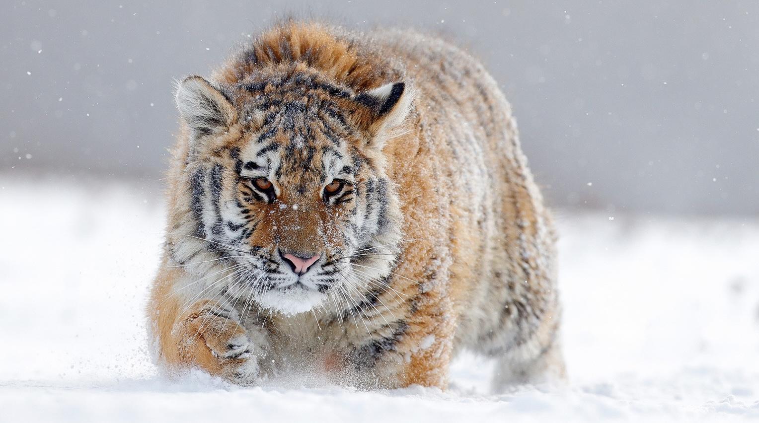Hổ Siberia đấu gấu xám Bắc Mỹ: Con nào có thể ăn thịt con nào? - 2