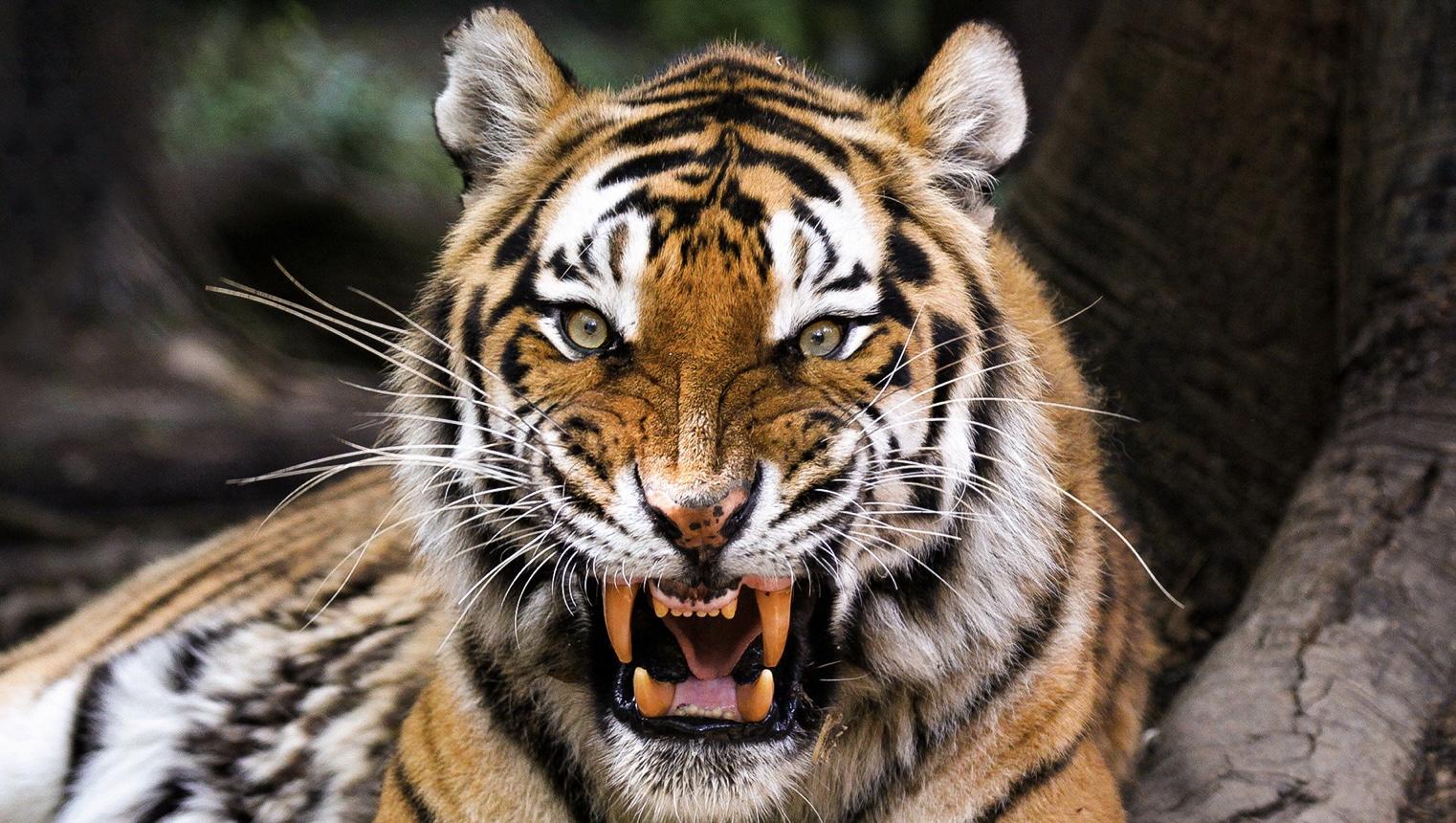 Hổ Siberia đấu gấu xám Bắc Mỹ: Con nào có thể ăn thịt con nào? - 4
