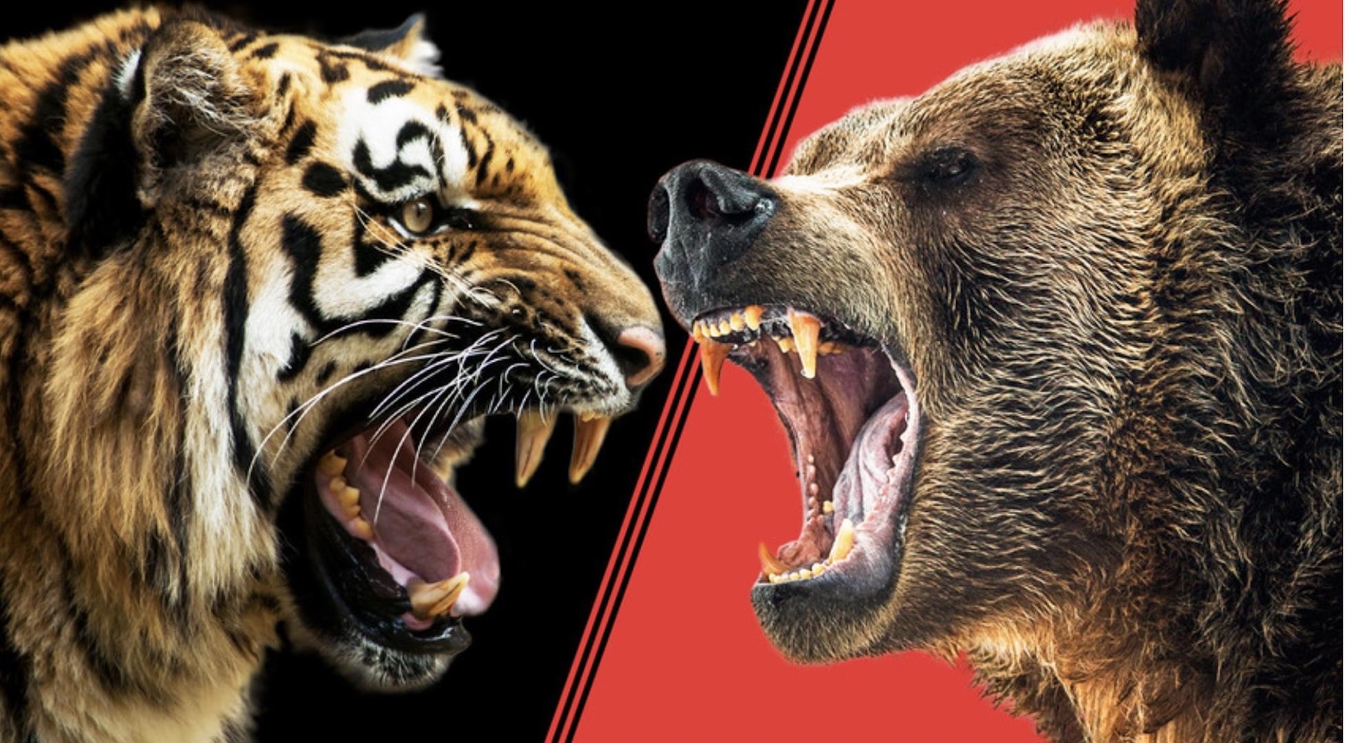 Hổ Siberia đấu gấu xám Bắc Mỹ: Con nào có thể ăn thịt con nào? - 1
