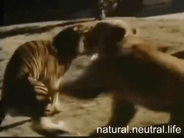 Thế giới - Hổ Siberia đấu gấu xám Bắc Mỹ: Con nào có thể ăn thịt con nào?