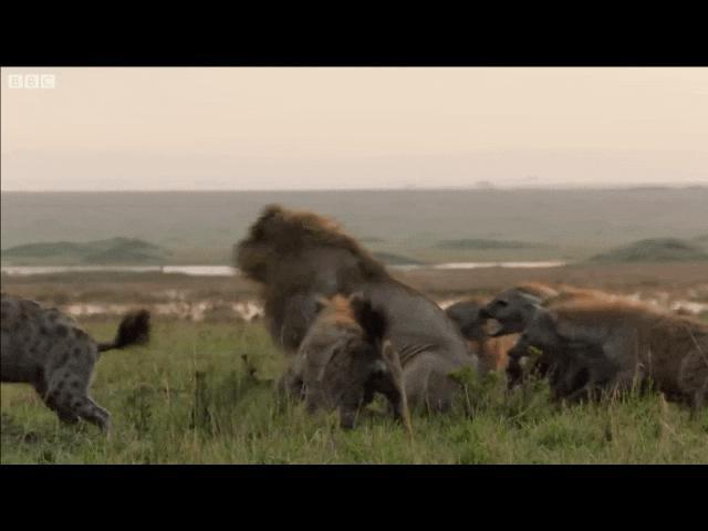Thế giới - Vì sao linh cẩu giết sư tử?