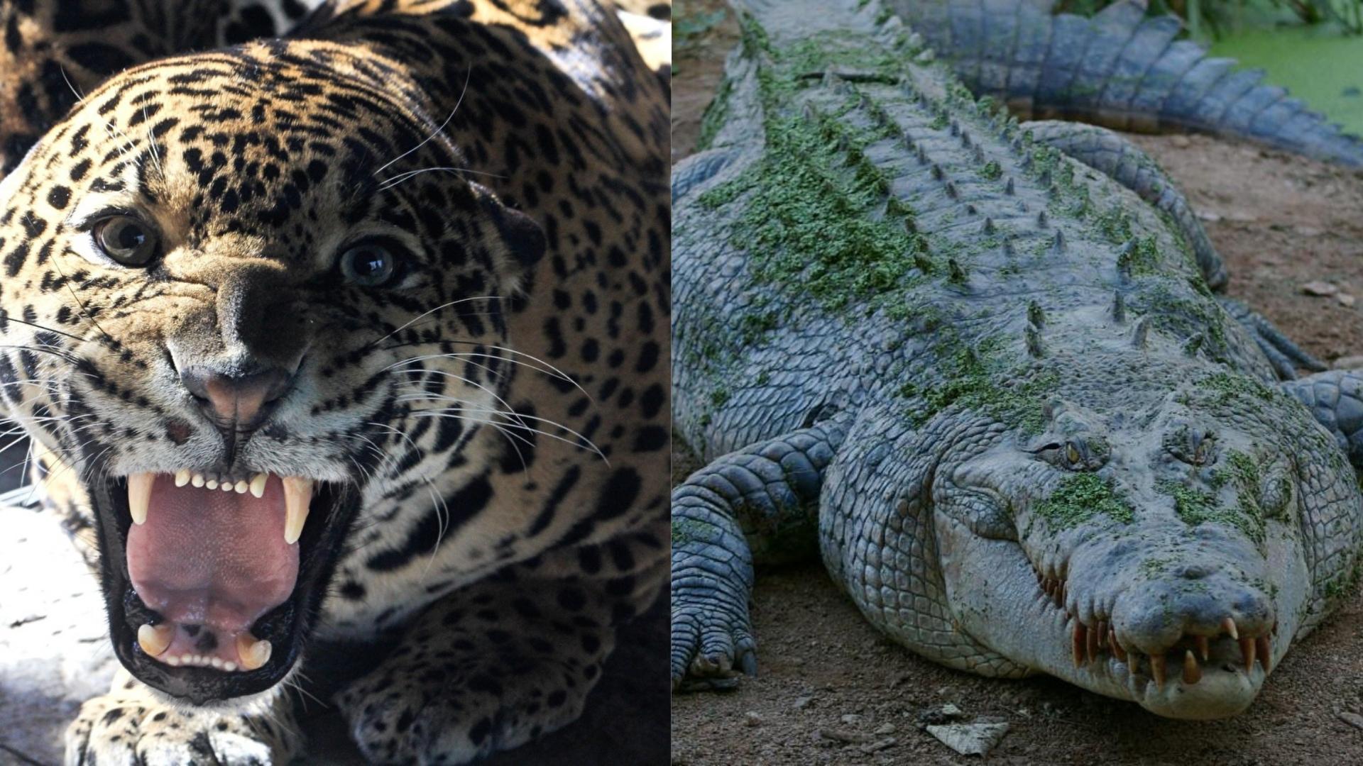 Báo đốm và cá sấu: Những màn kịch chiến một mất một còn - 1