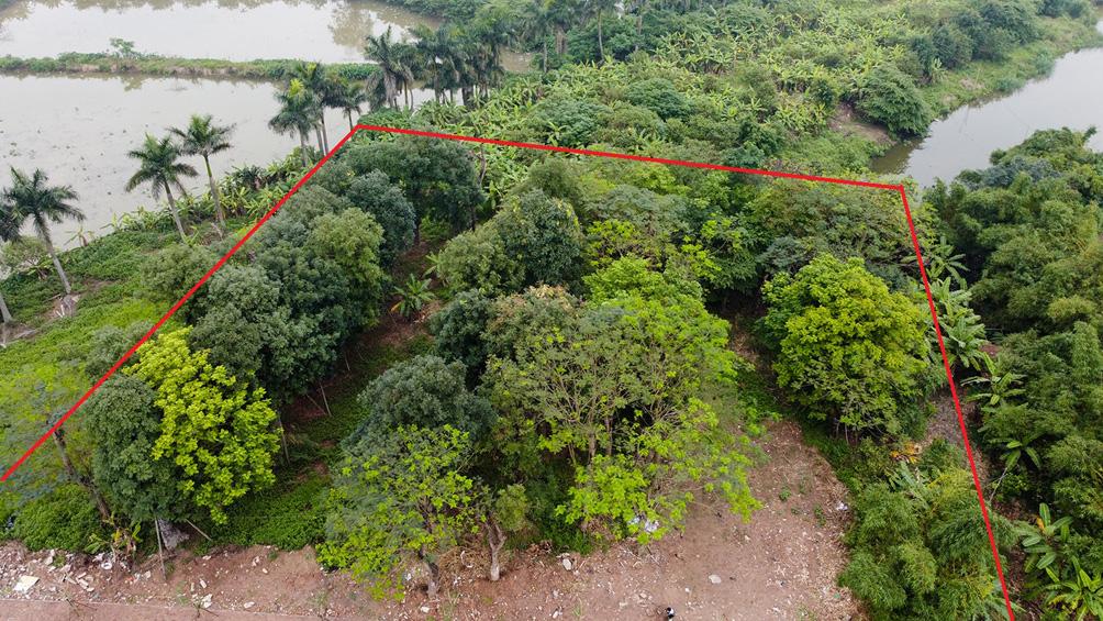 Hàng cây cổ thụ đường Kim Mã sau 5 năm đánh chuyển: Sống dở, chết dở, không ai chăm sóc - 1
