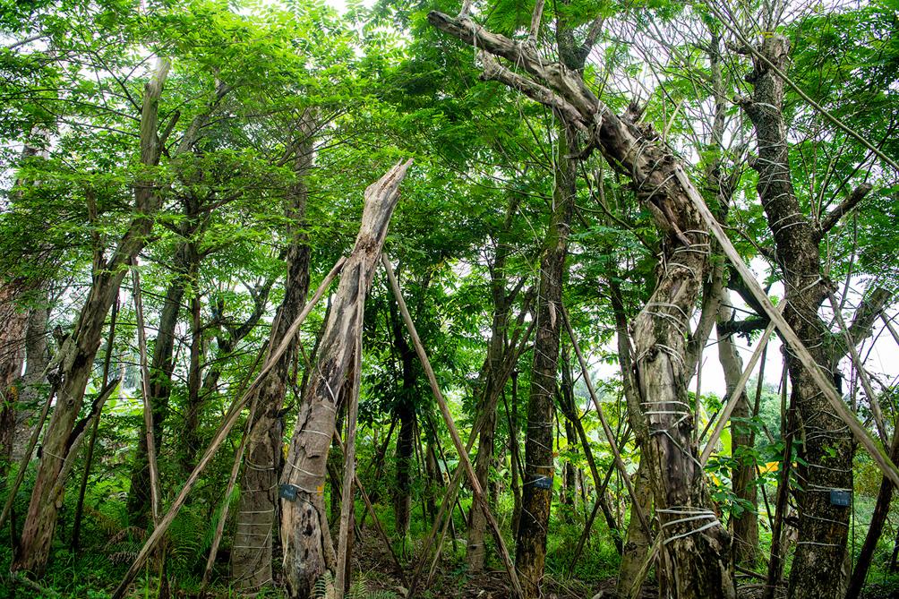 Hàng cây cổ thụ đường Kim Mã sau 5 năm đánh chuyển: Sống dở, chết dở, không ai chăm sóc - 10