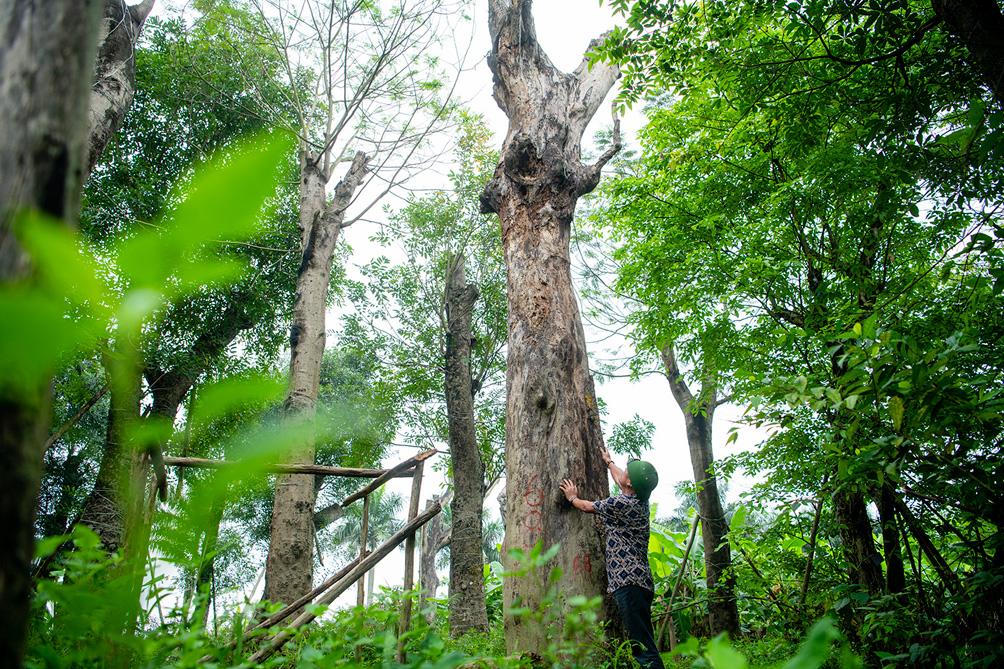 Hàng cây cổ thụ đường Kim Mã sau 5 năm đánh chuyển: Sống dở, chết dở, không ai chăm sóc - 13