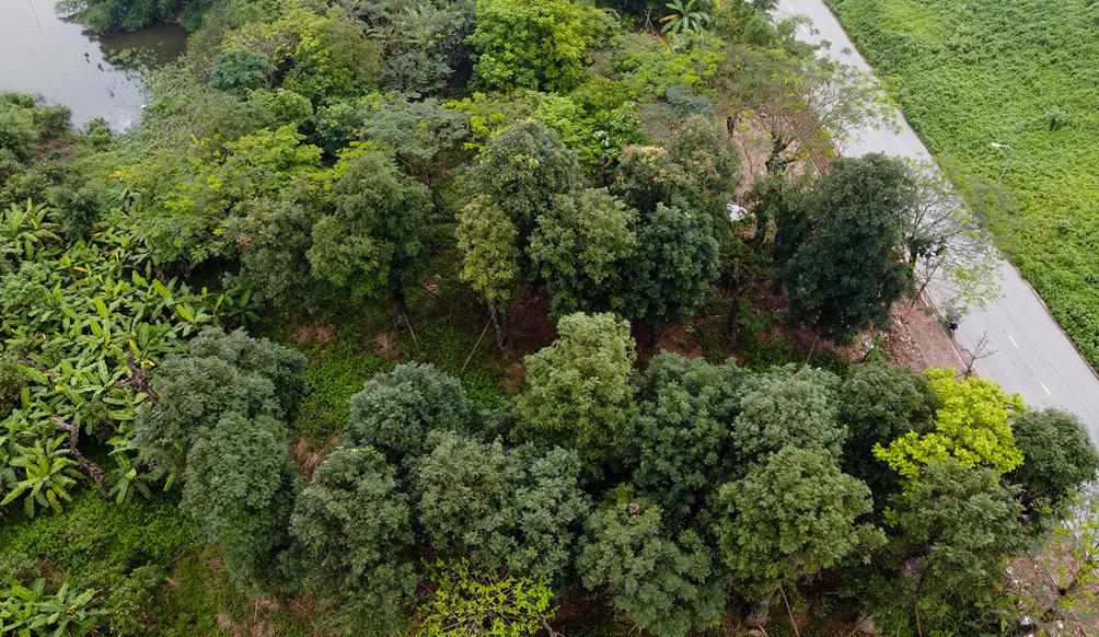 Hàng cây cổ thụ đường Kim Mã sau 5 năm đánh chuyển: Sống dở, chết dở, không ai chăm sóc - 2