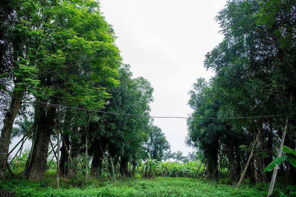 Hàng cây cổ thụ đường Kim Mã sau 5 năm đánh chuyển: Sống dở, chết dở, không ai chăm sóc - 3
