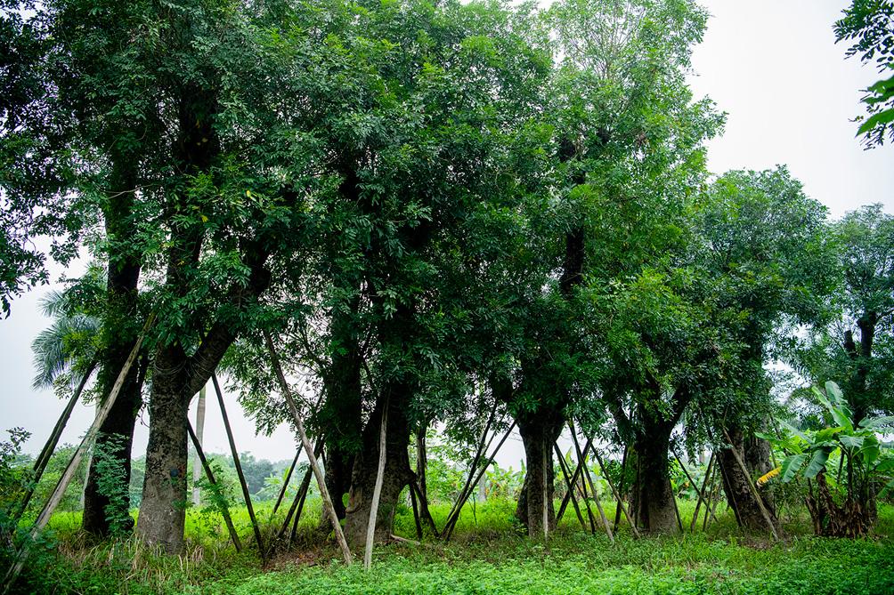 Hàng cây cổ thụ đường Kim Mã sau 5 năm đánh chuyển: Sống dở, chết dở, không ai chăm sóc - 6