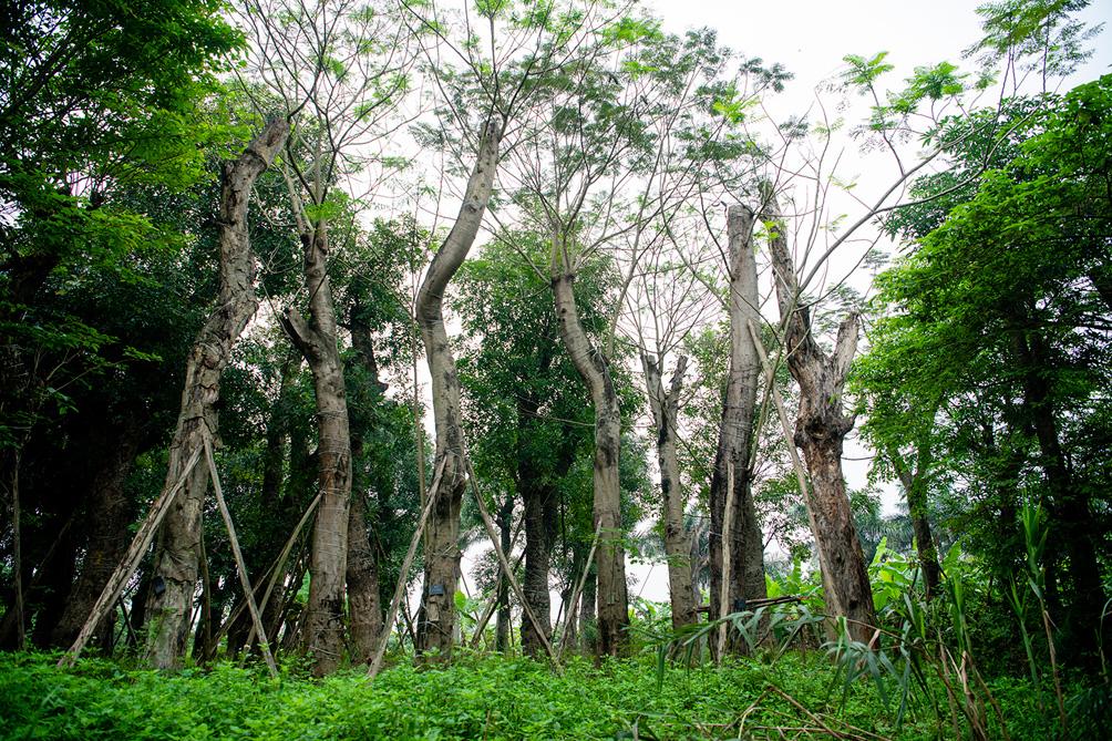 Hàng cây cổ thụ đường Kim Mã sau 5 năm đánh chuyển: Sống dở, chết dở, không ai chăm sóc - 7