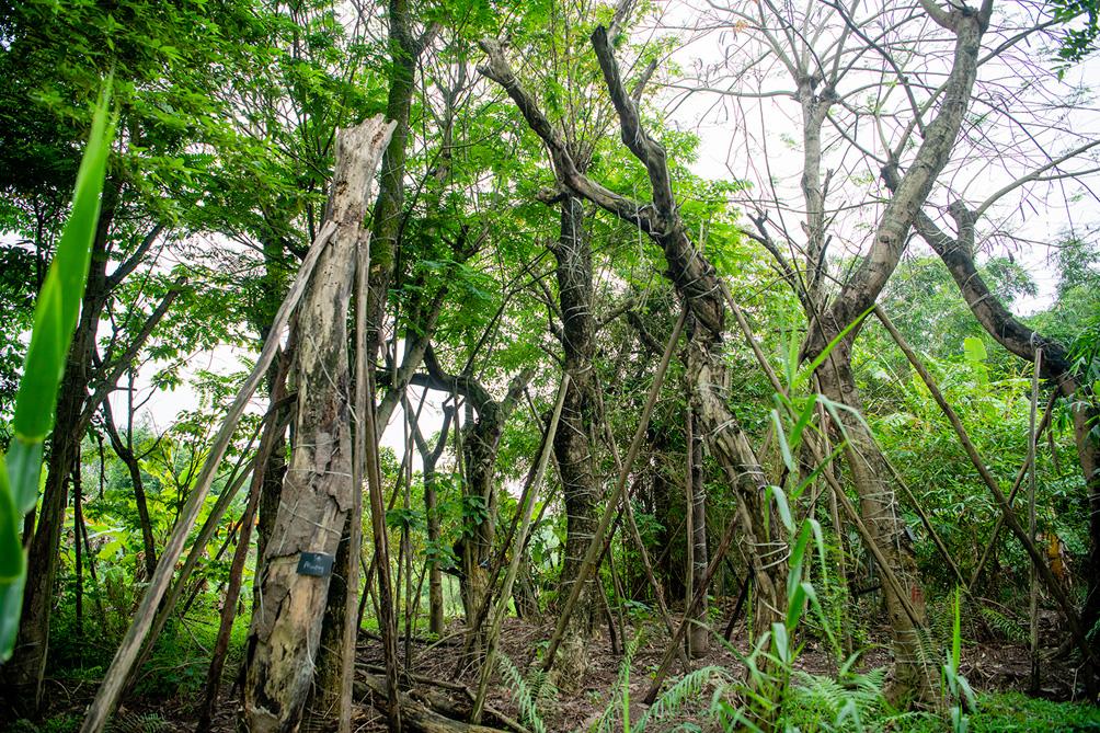 Hàng cây cổ thụ đường Kim Mã sau 5 năm đánh chuyển: Sống dở, chết dở, không ai chăm sóc - 8