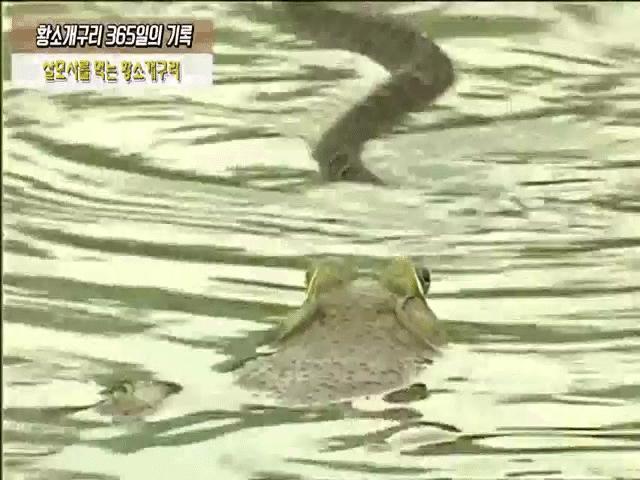 """Phi thường - kỳ quặc - Video: """"Tha mạng"""" cho ếch trâu, rắn lục cực độc bị đánh lén"""