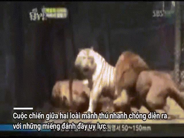 Phi thường - kỳ quặc - Video: Hổ trắng một mình chấp hai sư tử