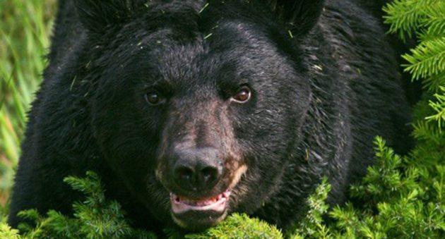 Mỹ: Rạch bụng gấu đen, phát hiện điều đau lòng - 1