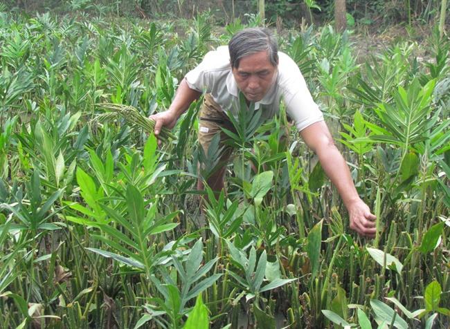 Loại rau này trước mọc hoang khắp nơi ở Việt Nam, nhưng hiện nay nhiều người tìm mua đến mức cung không đủ cầu.