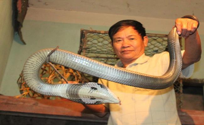 """Ngoài nghề cưa bom và thợ mỏ thì nghề nuôi rắn độc cũng là một trong những nghề gây """"đứng tim"""" ở nước ta."""