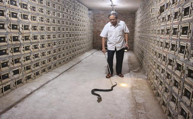 """Tuy nhiên, nghề này có thể mang lại lợi nhuận khá cao cho người dân. Những năm """"được mùa"""", rắn bán được giá tới hơn 1 triệu/kg, rẻ cũng phải hơn 400.000 đồng/kg."""