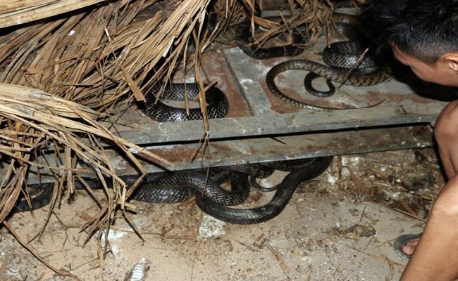 Tỉnh Vĩnh Phúc được mệnh danh là thủ phủ nuôi rắn của Việt Nam với sản lượng hàng năm khoảng 250 tấn rắn thịt thương phẩm và khoảng 3 - 4 triệu quả trứng giống.