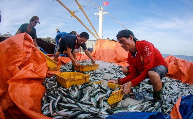 Anh Trần Thế Dương ở xã Cảnh Dương (Quảng Trị) chia sẻ, những năm trước, mỗi chuyến anh ra khơi trong khoảng 15 ngày, trung bình tàu anh đánh bắt tầm hơn 1 tấn cá. Giá thương lái mua dao động từ 140-160 nghìn đồng/kg.