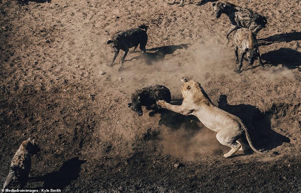 Sư tử đại chiến 30 linh cẩu trong suốt 6 tiếng - 1
