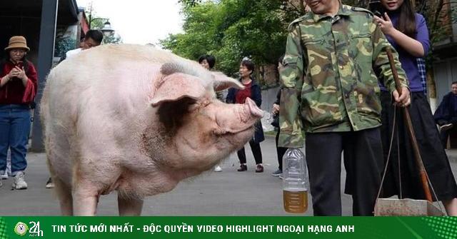 TQ: Từng sống sót trong thảm họa cướp sinh mạng gần 7 vạn người, chú lợn lại gây chú ý