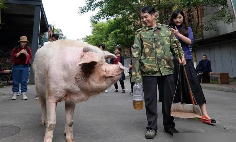 TQ: Từng sống sót trong thảm họa cướp sinh mạng gần 7 vạn người, chú lợn lại gây chú ý - 1