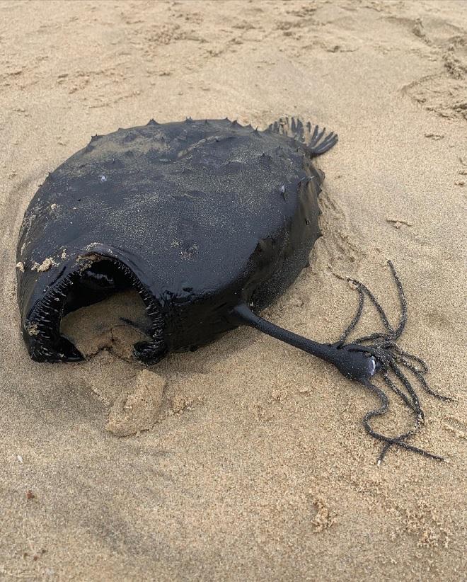 Xác quái vật biển sống ở độ sâu gần 1.000 mét trôi dạt bờ biển Mỹ - 2