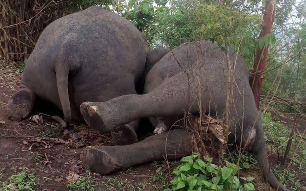 18 con voi chết hàng loạt cạnh nhau vì sét đánh - 1