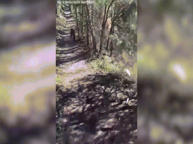 Mỹ: Khoảnh khắc kinh hãi đối mặt báo sư tử lúc đi bộ một mình