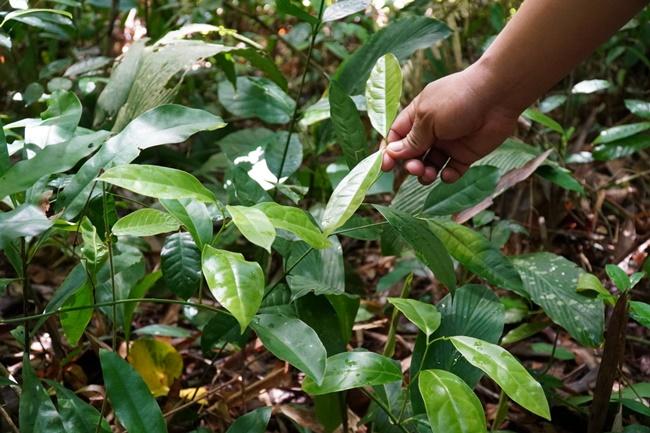 Loại cây này vốn mọc hoang dại, nó có thể trồng ở bờ rào, ven lối đi tạo cảnh quan. Nhưng hiện nay, người dân đã mang về trồng vì có giá trị kinh tế.