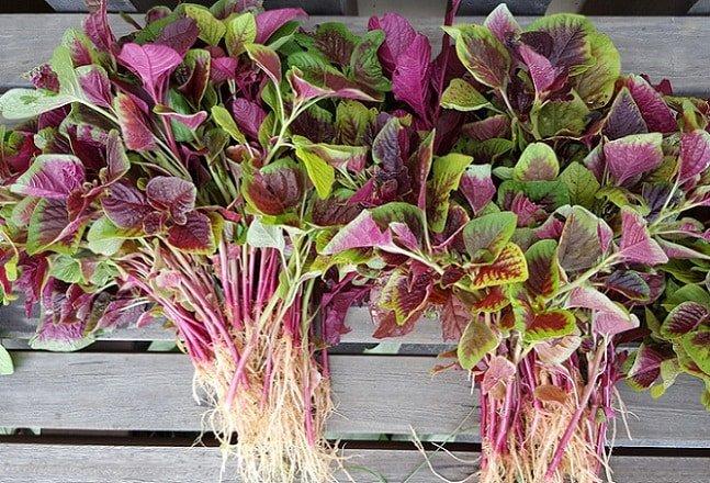"""Loại rau được coi là """"món ăn trường thọ"""" mọc đầy vào mùa hè, giá rẻ, đừng bỏ qua - 1"""