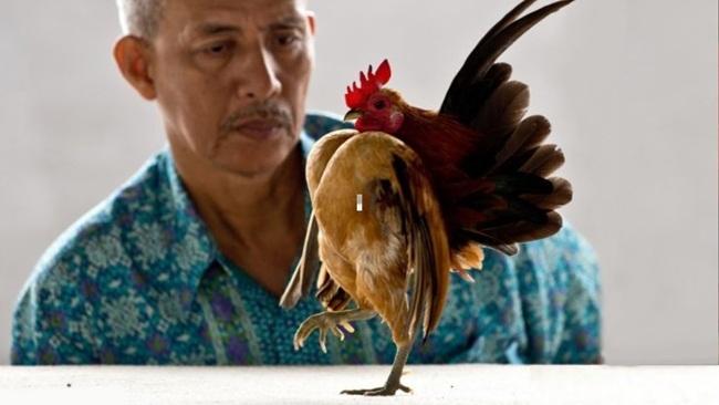 Loài gà này có tên Serama. Đặc điểm bên ngoài có thể thấy đây là giống gà có chân ngắn lùn.