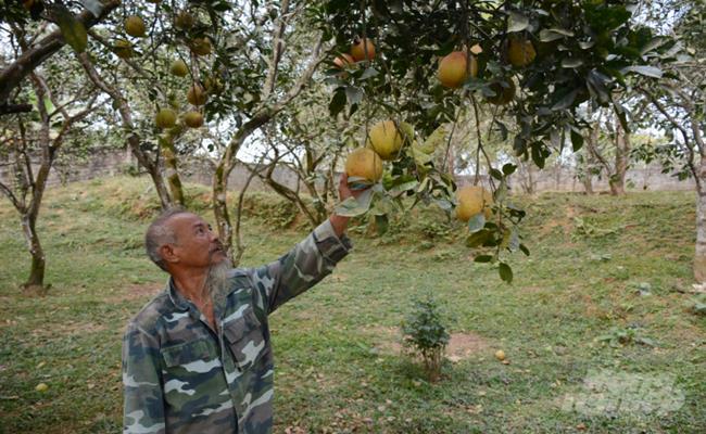 Bưởi Đại Minh (đặc sản của huyện Yên Bình, tỉnh Yên Bái) là giống bưởi quý được phát hiện từ hơn 300 năm trước.
