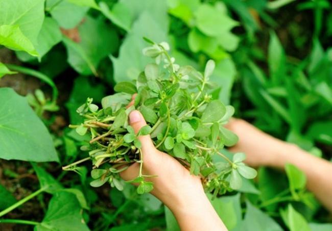 """Rau sam từ xưa được ví như """"rau trường thọ"""", trong khi ở châu Âu người ta dùng rau này muối chua."""